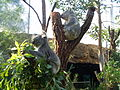 Koala 10.jpg