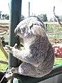 Koala at Caversham Wildlife Park.jpg