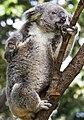 Koala waiting for his leaves-2 (8621392194).jpg