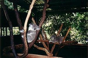 Lone Pine Koala Sanctuary - Image: Koalas at Lone Pine 2