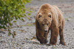 Kodiak bear uyak bay 2010.jpg