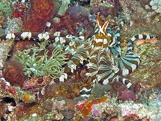 <i>Wunderpus photogenicus</i> Species of cephalopod