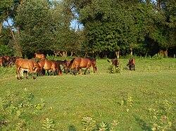 Konji u parku prirode Lonjsko polje.