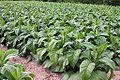 Korea-Yecheon County-Gigokri-Vegetable field-01.jpg