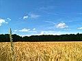 Kornfeld im Sommer in Itzenbüttel 01.jpg