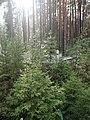 Krasny Bor, Karelia, memorial cemetery (2018-08-04) 01.jpg