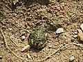 Kreuzkröte in der Grube Malapertus bei Wetzlar.jpg