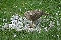 Krogulec jedzący gołębia 3.jpg