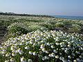 La macchia sulla spiaggia di Baia Domizia.jpg