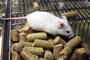 Laboratory mouse (Photo credit: Wikipedia)