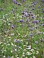 Lacy Phacelia (Phacelia tanacetifolia) - geograph.org.uk - 907185.jpg