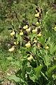 Lady's-Slipper Orchid - Cypripedium calceolus - panoramio (34).jpg