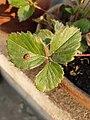 Ladybug on a strawberry plant.jpg