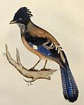 Lanceolated Jay lithograph.jpg