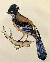 Lanceolated Jay lithograph