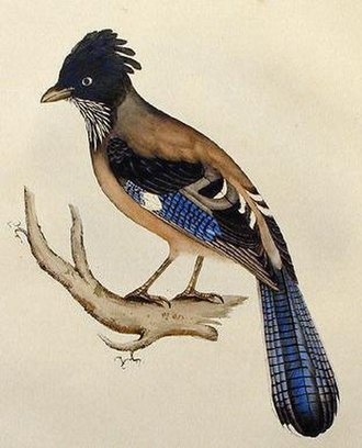 Black-headed jay - Image: Lanceolated Jay lithograph