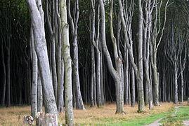 Landschaftsschutzgebiet Kühlung - Nienhäger Holz (Gespensterwald) (18).JPG