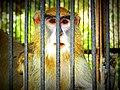 Langur behind bars.JPG