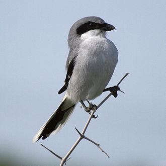 Loggerhead shrike - In Texas, USA
