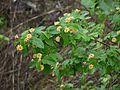 Lantana salvifolia (3709180231).jpg