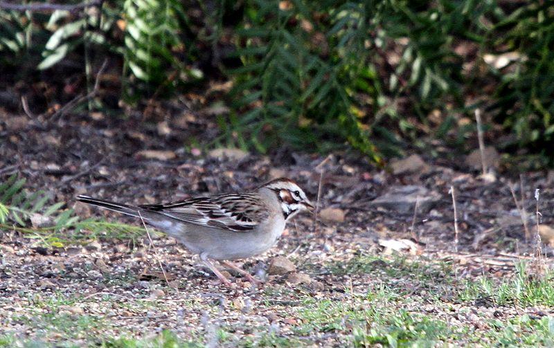 File:Lark sparrow - Flickr - GregTheBusker (1).jpg