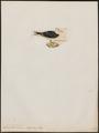 Larus dominicanus - 1820-1860 - Print - Iconographia Zoologica - Special Collections University of Amsterdam - UBA01 IZ17900224.tif