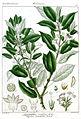 Lasianthus venulosa Rungiah.jpg