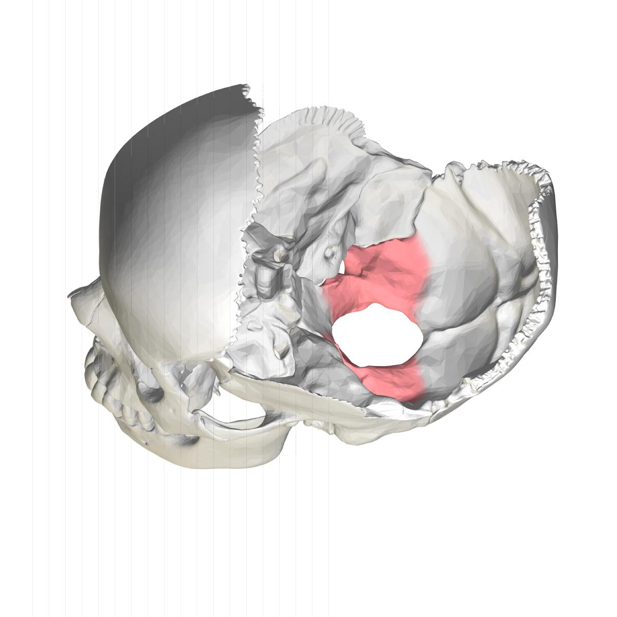Laterale dele af nakkebenet - Wikipedia, den frie encyklopædi