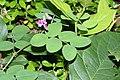 Lathyrus nevadensis 0878.JPG