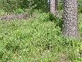 Lathyrus sylvestris habitat 1 AB.jpg
