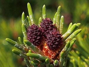 Pinus mugo - Botanical illustration of Pinus mugo