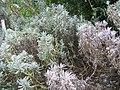 Lavandula angustifolia Melissa 1zz.jpg