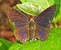 Leaf Blue (Amblypodia anita) W IMG 2693.jpg