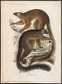 Lemur mayottensis - 1868 - Print - Iconographia Zoologica - Special Collections University of Amsterdam - UBA01 IZ19700047.tif