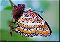 Leopard Lacewing Butterfly.jpg