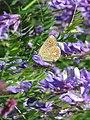 Leptir plavac, Sićevačka klisura.jpg