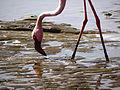 Lesser Flamingos3.JPG