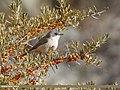 Lesser Whitethroat (Sylvia curruca) (45392229471).jpg