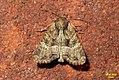 Lesser common rustic (BG) (23683037618).jpg