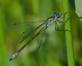 Lestes virens male.png