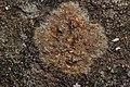 Lichen (26175387647).jpg
