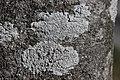 Lichen (29192208298).jpg