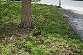 Liegendes Eichhörnchen nebst Baum 07052019.jpg
