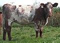 Light Roan Shorthorn Heifer DSCN1872b.jpg