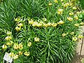Lilium pyrenaicum001.jpg