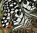 Lime Butterfly (Papilio demoleus) mud-puddling W3 IMG 0268.jpg