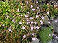 Limonium bellidifolium 2.JPG