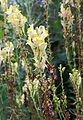 Linaria vulgaris & caterpillar Kiev.JPG