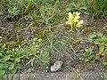 Linaria vulgaris 20050825 975.jpg