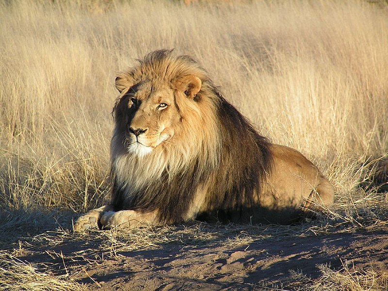 Şəkil:Lion waiting in Namibia.jpg